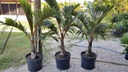 Гиофорба комнатные растения выращивание и уход