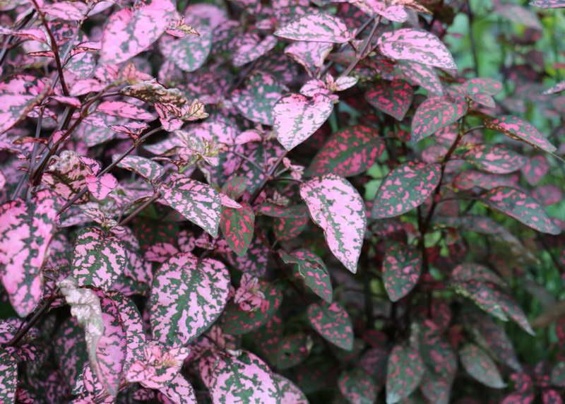 Гипоэстес розовый pink hypoestes sanguinolenta фото