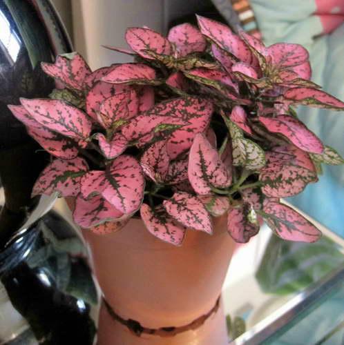 Гипоэстес уход в домашних условиях фото Гипоэстес розовый