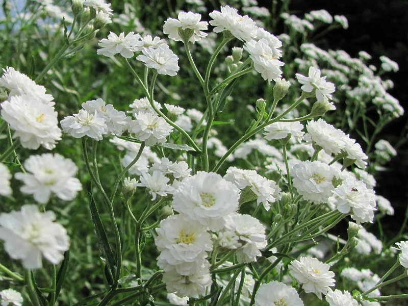 Гипсофила метельчатая белая махровая выращивание посадка и уход Gipsofila paniculata Compacta Plena фото