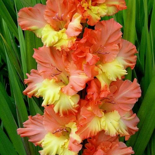 Гладиолус Аннушка фото цветов
