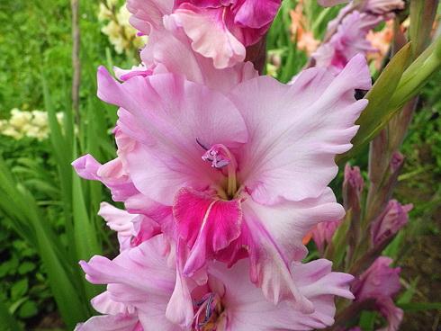 Гладиолус Арина фото цветов