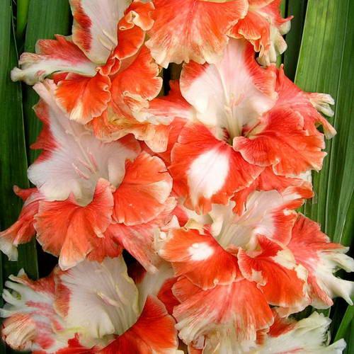 Гладиолус Вечный зов фото цветов