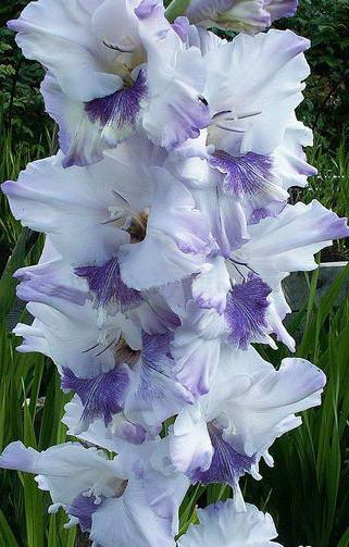 Гладиолусы Российской селекции сорт Голубая бабочка фото цветов в саду