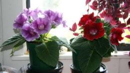 Глоксиния уход в домашних условиях Размножение Выращивание из семян