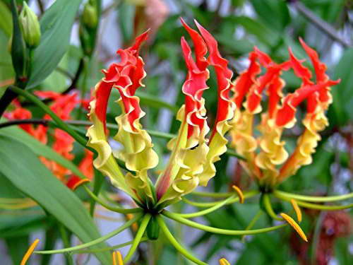 Глориоза Роштильда посадка и уход Gloriosa Rothschildiana фото