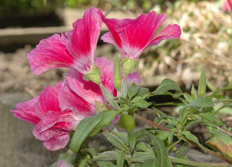 Годеция крупноцветковая Godetia grandiflora или азалиевидная красная фото