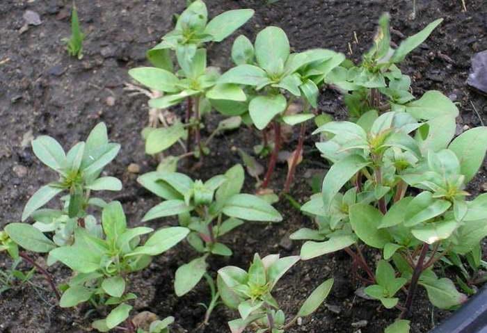 Годеция выращивание из семян когда сажать Фото рассады