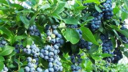 Голубика садовая посадка и уход в Подмосковье и средней полосе фото и видео