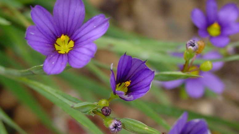 Голубоглазка сисюринхий звездочка фото цветов