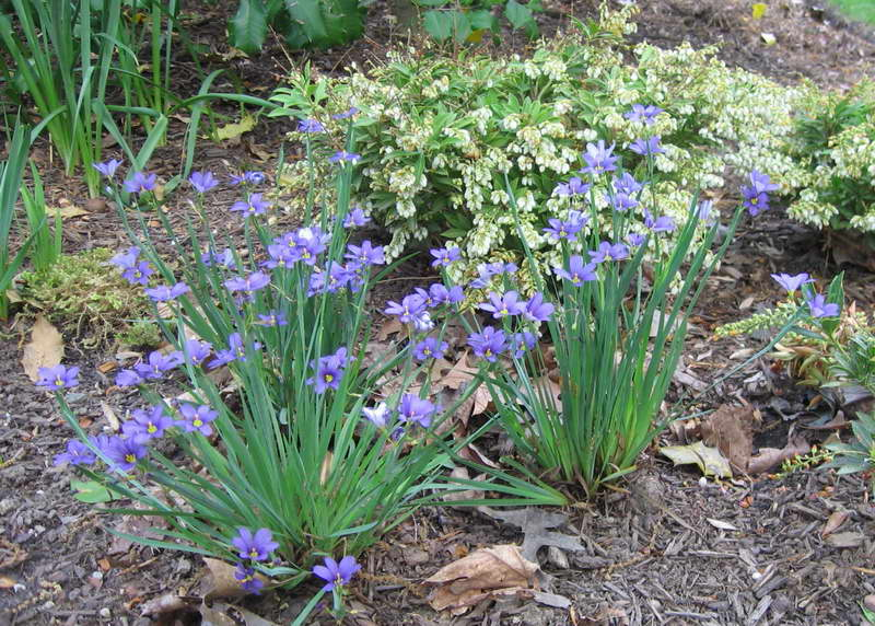 Голубоглазка узколистная посадка и уход Фото цветов в саду
