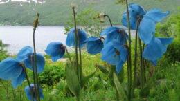 Голубой гималайский мак меконопсис фото Посадка и уход Выращивание из семян