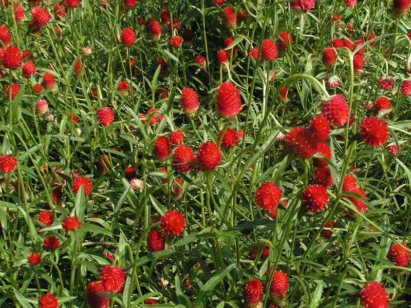 Гомфрена Хааге или золотистоцветковая Gomphrena haageana