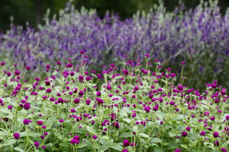 Гомфрена пурпурная фото в саду