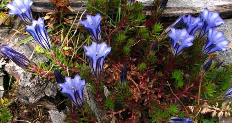 Горечавка Аретусы Gentiana arethusae var. delicatula фото
