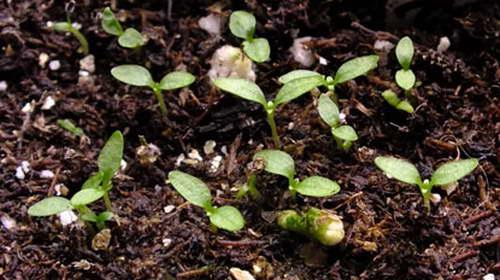Горечавка из семян фото всходов