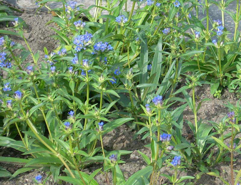 Горечавка крупнолистная Gentiana macrophylla фото