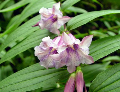 Горечавка ластовенная розовая сорт Gentiana asclepiadea Pink Cascade