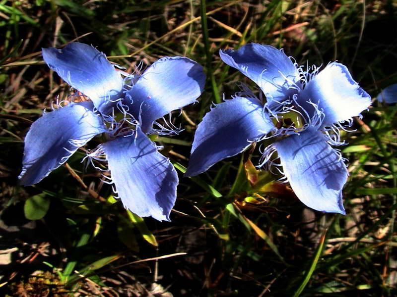 Горечавка реснитчатая Gentiana ciliata фото