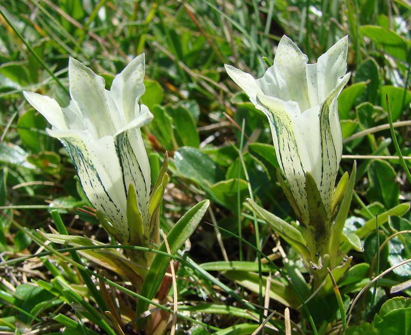 Горечавка студеная Gentiana frigida фото