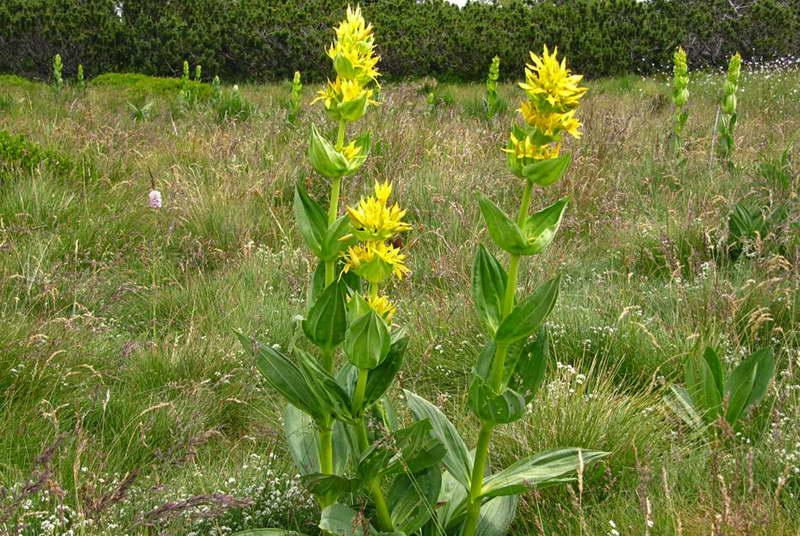 Горечавка желтая Gentiana lutea фото