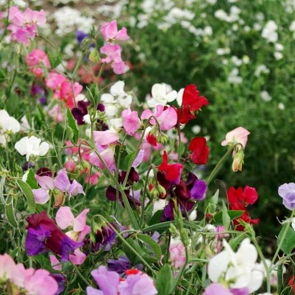 Горошек душистый Cuthbertson Floribunda Choice Mix