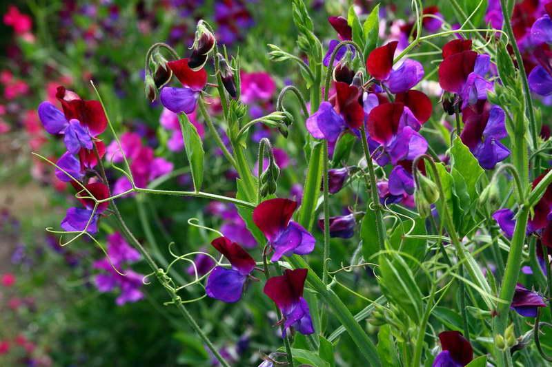 Горошек душистый сорт Royal Family Mix Lathyrus odoratus фото