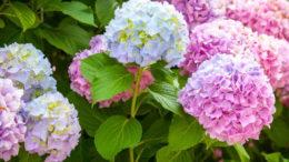 Гортнезия посадкаи уход в открытом грунте фото цветения в саду