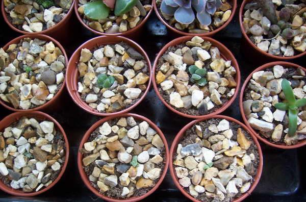 Граптопеталлум из семян фото