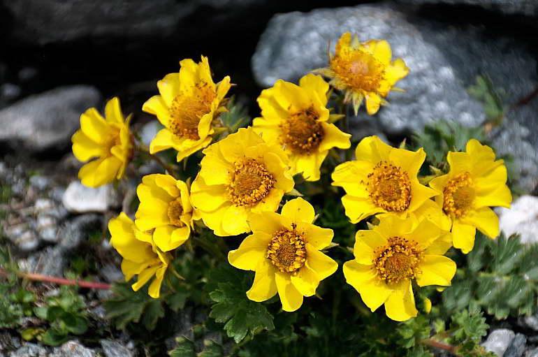 Гравилат горный Geum montanum фото