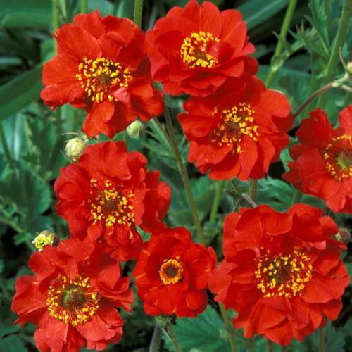 Гравилат махровый ярко красный сорт Geum 'Mrs Bradshaw' фото