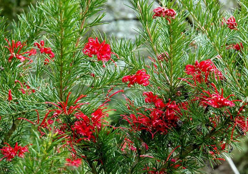Гревиллея розмаринолистная Grevillea rosmarinifolia фото