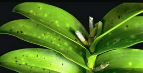 Грибковая инфекция на орхидее Phyllosticta фото