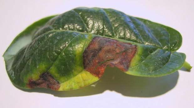 Грибок Corynespora Cassiicola на дипладении мандевилле - ржавые подсыхающие пятна и пожелтение