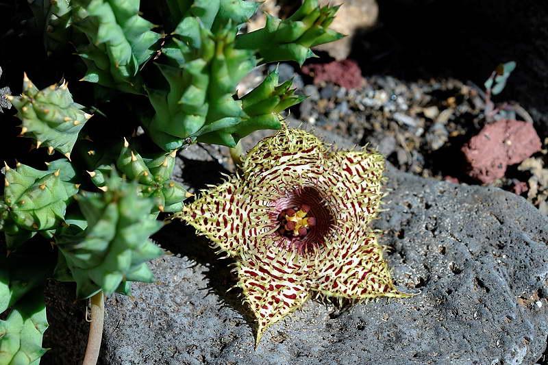 Гуэрния колючая Huernia hystrix фото