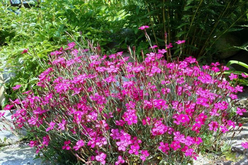 Гвоздика травянка многолетняя посадка и уход фото