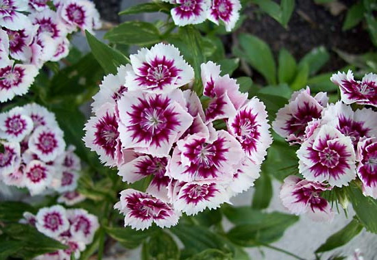 Гвоздика бородатая фото сорта Sweet William Dianthus barbatus