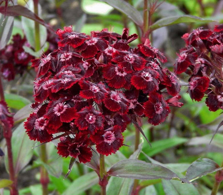 Гвоздика бородатая сорт BLACK SWEET WILLIAM фото в саду