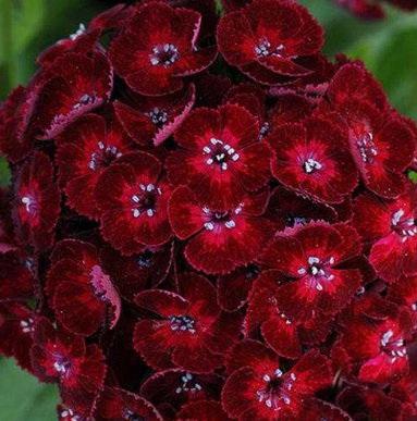 Гвоздика бородатая сорт Dash Crimson фото
