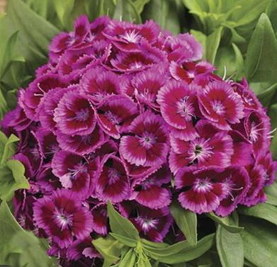 Гвоздика бородатая сорт Purple Bicolor фото