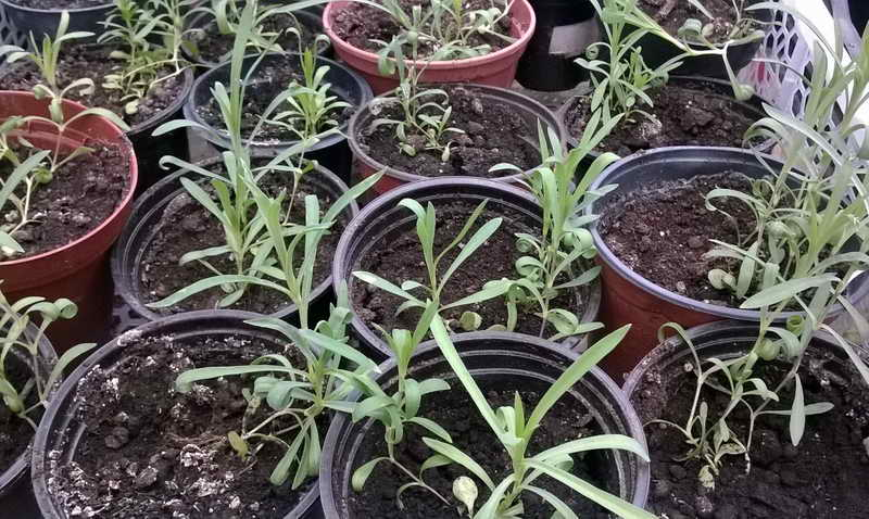 Гвоздика перистая выращивание из семян фото рассады