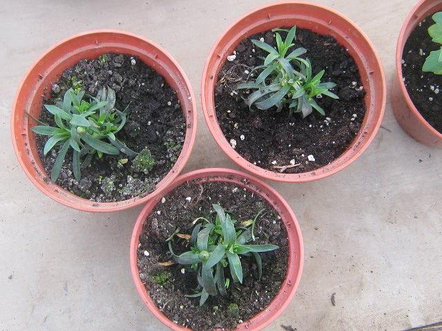 Гвоздика садовая шабо выращивание из семян в домашних условиях Вторая пересадка фото