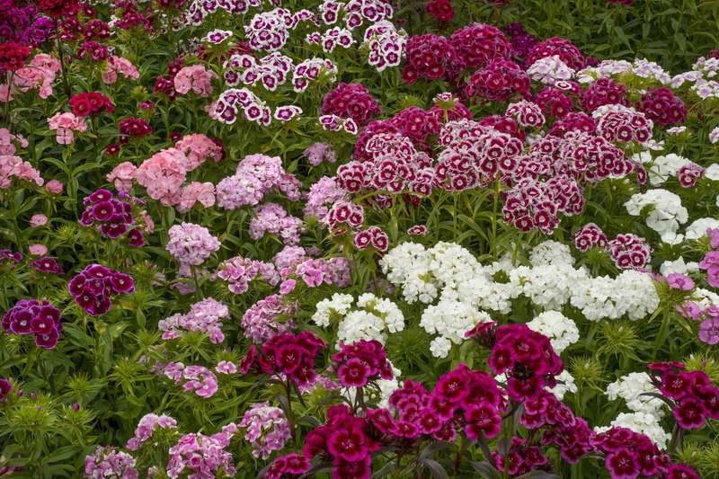 Гвоздика садовая турецкая посадка и уход фото