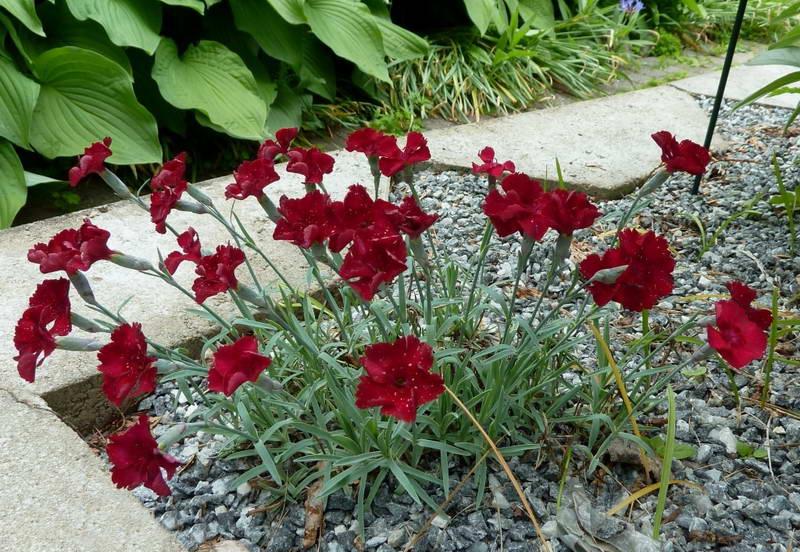 Гвоздика серовато голубая рубин dianthus gratianopolitanus rubin фото