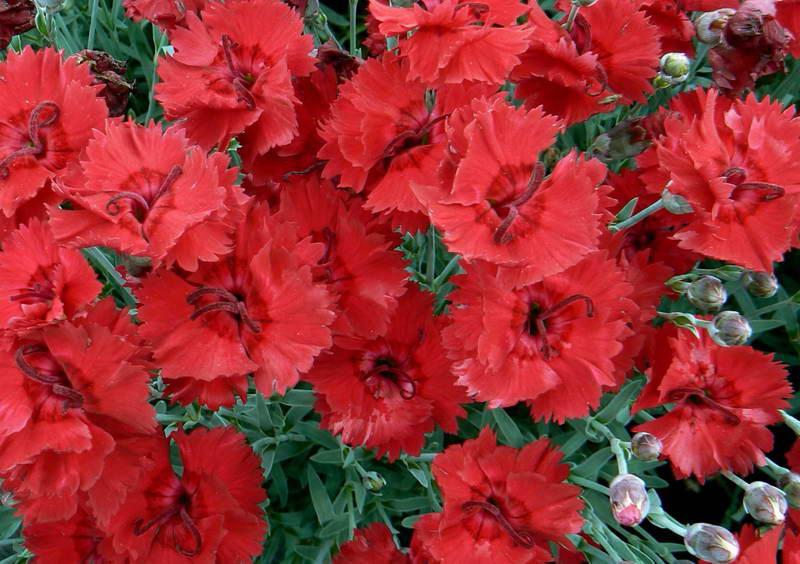 Гвоздика серовато голубая сорт Red Beauty фото цветов