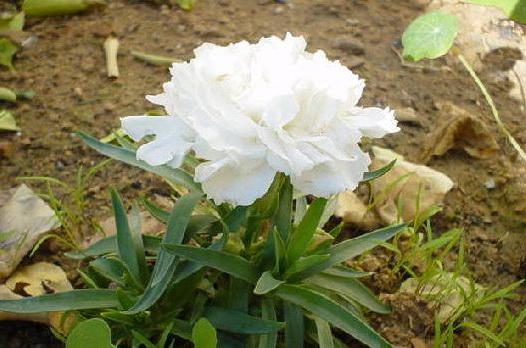 Гвоздика шабо Жанна дионис фото