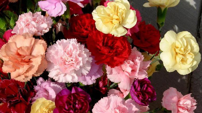 Гвоздика шабо многолетняя посадка и уход фото цветов в саду