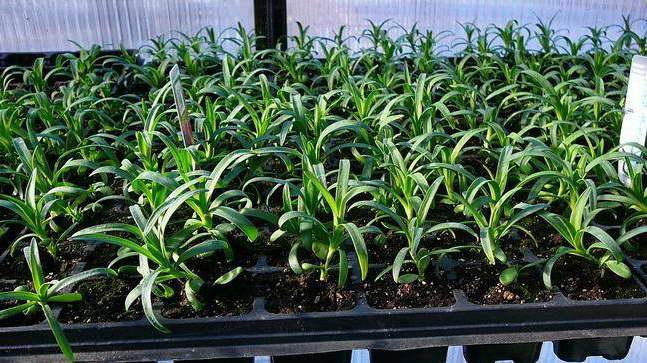 Гвоздика шабо выращивание из семян фото рассады