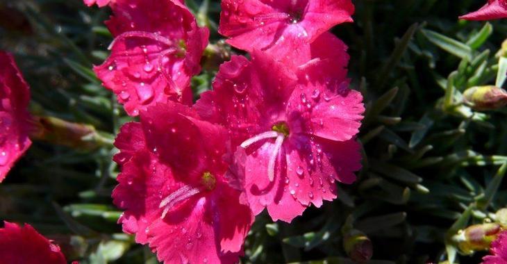 Гвоздика сизая сорт Эммен Dianthus gratianopolitanus 'Emmen'