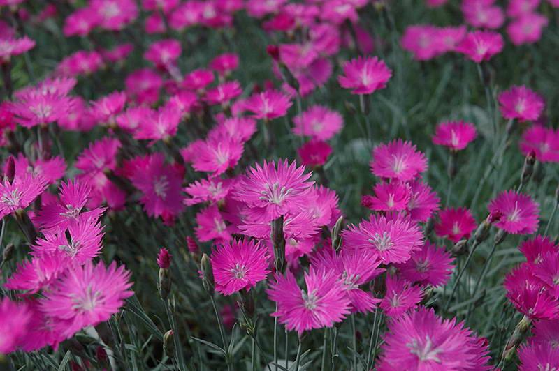 Гвоздика сизая сорт Firewitch Pinks Dianthus gratianopolitanus Firewitch фото